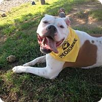 American Bulldog Dog for adoption in Bowmanville, Ontario - JENNY