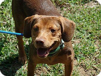 Beagle/Dachshund Mix Puppy for adoption in Washington, D.C. - Grace