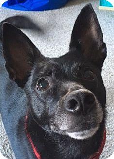 Schipperke/Terrier (Unknown Type, Medium) Mix Dog for adoption in Sheboygan, Wisconsin - Buddy