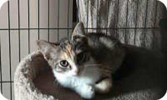 Calico Kitten for adoption in Pelham, Alabama - Josie