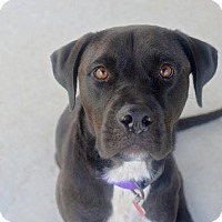 Labrador Retriever/Boxer Mix Dog for adoption in Huntsville, Alabama - Sophia