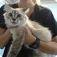Siamese Cat for adoption in San Bernardino, California - URGENT on 9/16 San Bernardino