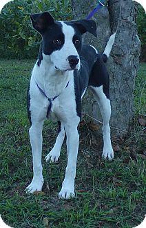 Labrador Retriever/Border Collie Mix Dog for adoption in Hartford, Connecticut - Uno