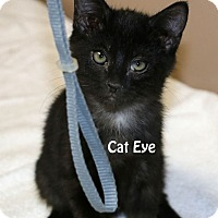 Domestic Shorthair Kitten for adoption in Idaho Falls, Idaho - Cat Eye