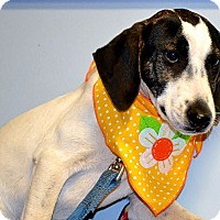 Pointer Mix Puppy for adoption in Indiana, Pennsylvania - JENNY
