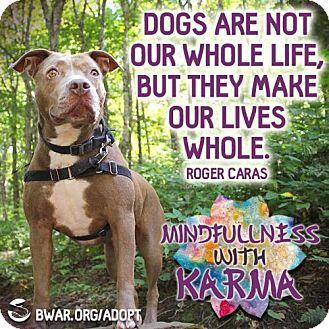 Pit Bull Terrier Mix Dog for adoption in Asheville, North Carolina - Karma