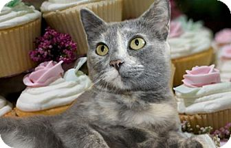 Domestic Shorthair Cat for adoption in Johnson City, Tennessee - Sugar