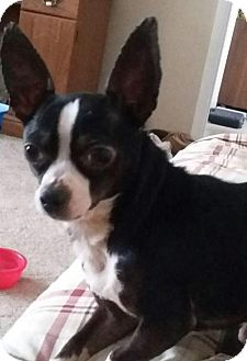 Chihuahua/Boston Terrier Mix Dog for adoption in Fort Wayne, Indiana - Harvey