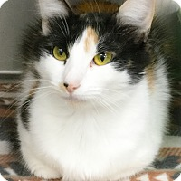 Calico Cat for adoption in Webster, Massachusetts - Chilli