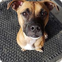 Adopt A Pet :: Flecha - Berkeley, CA