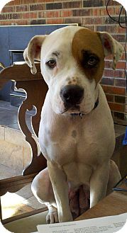 Boxer/American Bulldog Mix Dog for adoption in Louisville, Kentucky - Lucy
