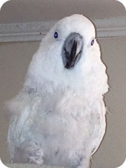 Cockatoo for adoption in St. Louis, Missouri - Cracker