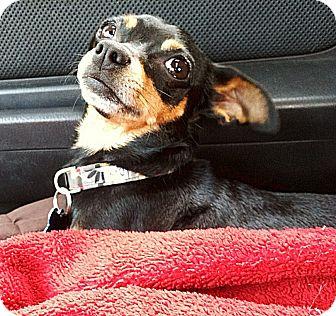 Miniature Pinscher Mix Dog for adoption in Encino, California - CHARLOTTE