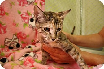 Domestic Shorthair Kitten for adoption in Fountain Hills, Arizona - GRETA