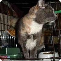 Adopt A Pet :: Cici - Lombard, IL