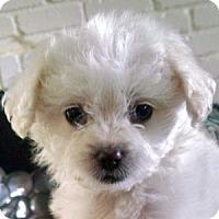 Adopt A Pet :: Bree - La Costa, CA
