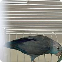 Adopt A Pet :: Boo - Punta Gorda, FL