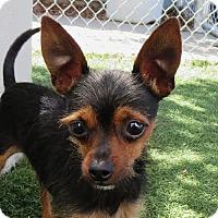 Adopt A Pet :: Andre - Seattle, WA