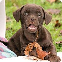 Adopt A Pet :: Chubbs (Puff #3) - Temple, GA