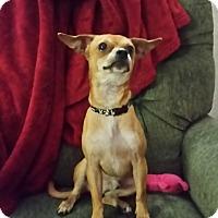 Adopt A Pet :: Yoda - Las Vegas, NV