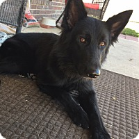 Adopt A Pet :: Midnight - Houston, TX