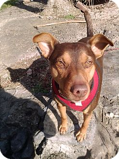 Miniature Pinscher Mix Dog for adoption in Nashville, Tennessee - Buddy
