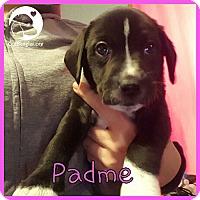 Adopt A Pet :: Padme - Chicago, IL