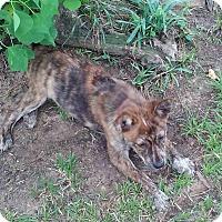 Adopt A Pet :: Dingo - Buffalo, NY