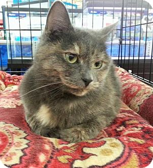 Domestic Mediumhair Cat for adoption in Fenton, Missouri - NOVA