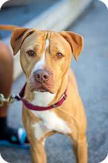 Pit Bull Terrier Mix Dog for adoption in Bronx, New York - Patches