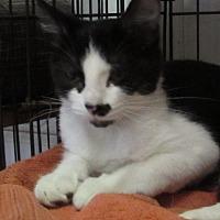 Domestic Shorthair Kitten for adoption in Jackson, Missouri - FRANKY