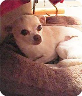 Chihuahua Mix Dog for adoption in Columbus, Ohio - Dory