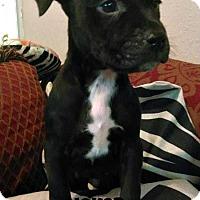 Adopt A Pet :: Joker - Des Moines, IA