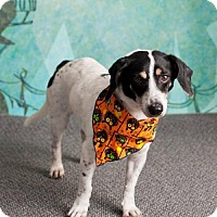 Adopt A Pet :: HUNTER - Chandler, AZ