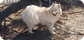 Samoyed Dog for adoption in Los Angeles, California - MJ