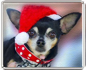 Chihuahua Dog for adoption in Sacramento, California - Cody loves everyone
