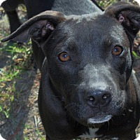 American Staffordshire Terrier Mix Dog for adoption in Barco, North Carolina - Soldier