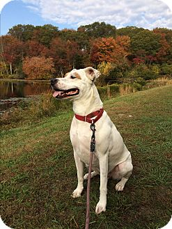 American Bulldog Mix Dog for adoption in Peace Dale, Rhode Island - Maverick