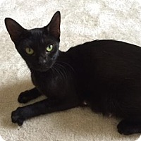 Domestic Shorthair Cat for adoption in Herndon, Virginia - Townes