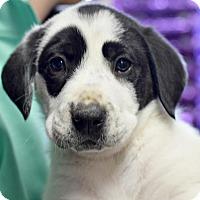 Adopt A Pet :: Vane - Memphis, TN