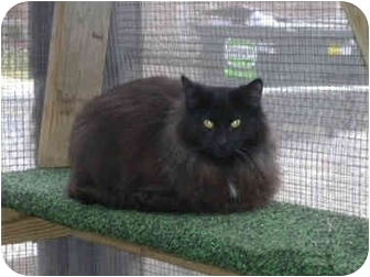 Domestic Longhair Cat for adoption in Chicago, Illinois - Salem