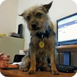 Yorkie, Yorkshire Terrier Dog for adoption in Austin, Texas - Cosmo