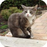 Domestic Shorthair Cat for adoption in Ottawa, Ontario - Simone