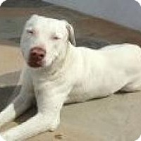 American Pit Bull Terrier/Labrador Retriever Mix Dog for adoption in Las Vegas, Nevada - Dengo