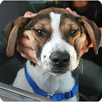 Adopt A Pet :: Brodie - Concord, CA