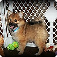 Adopt A Pet :: Brody - Sinking Spring, PA