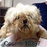 Adopt A Pet :: Cosmo - baltimore, MD