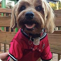 Adopt A Pet :: Beau Beau - Beechgrove, TN