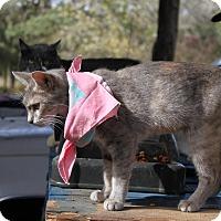 Adopt A Pet :: gray orange - Morriston, FL