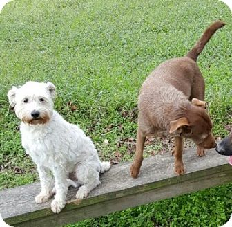 Jack Russell Terrier Mix Dog for adoption in Spring, Texas - Scruffy & Hannah
